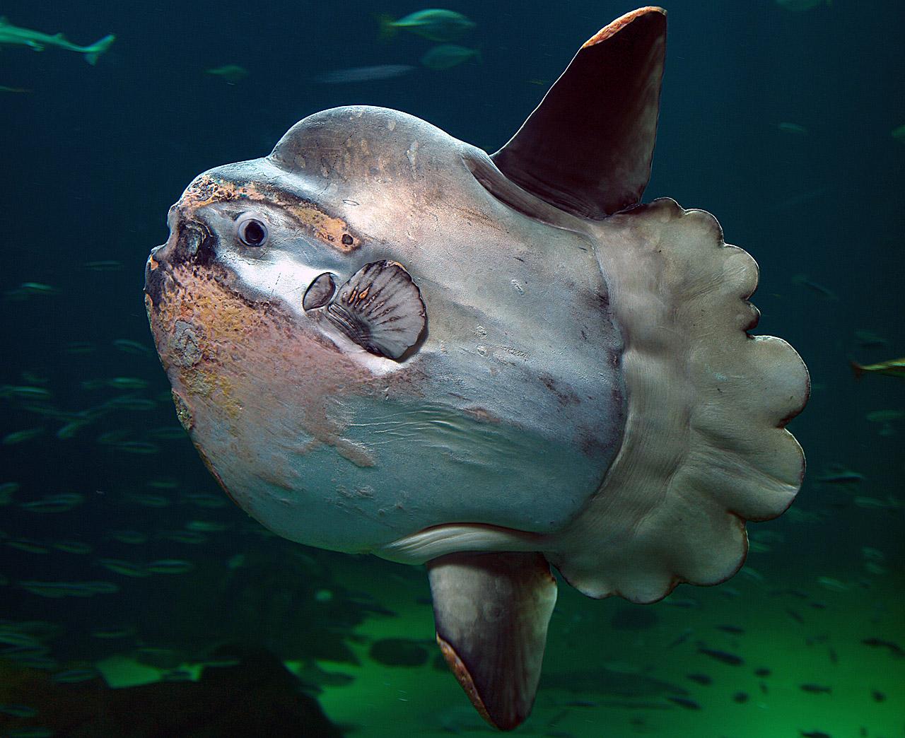 Рыба-луна – самая крупная из ныне живущих костистых рыб