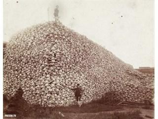 Как американцы бизонов уничтожали