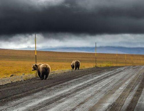 Они немножко сошли с ума! Фотограф никак не мог понять, что делают два медведя гризли супер