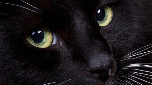 Люди, не клевещите на черных кошек! Они приносят счастье, точно говорю!