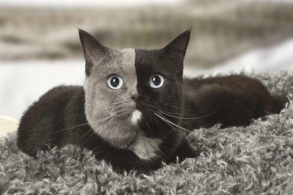 Найден двуликий кот с серо-ч…