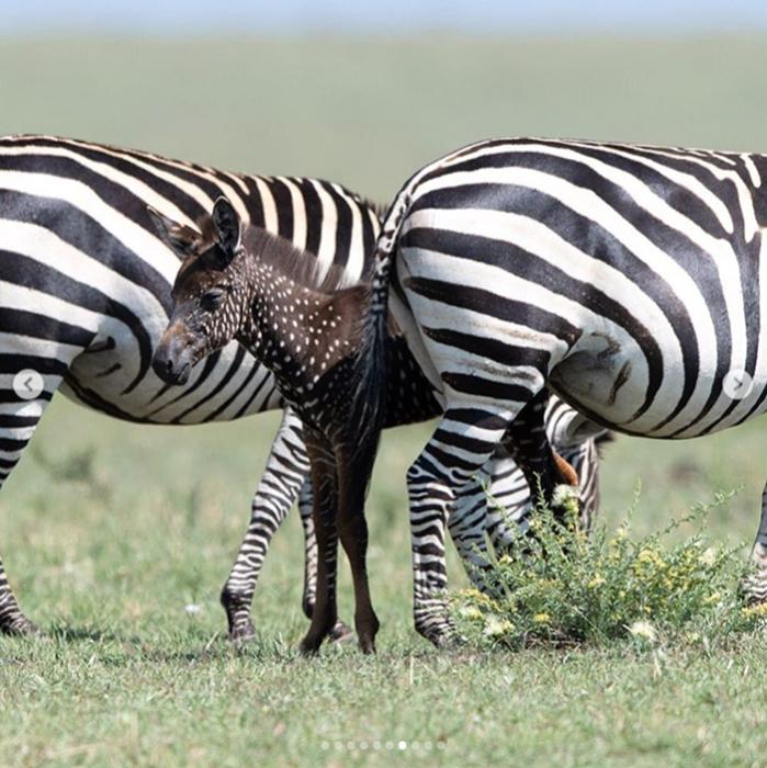 В национальном заповеднике Кении родилась уникальная зебра с крапинками вместо полосок