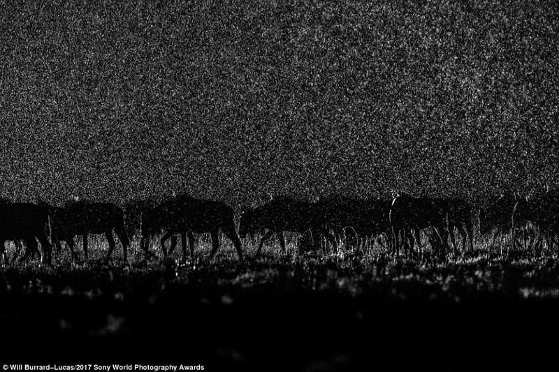 Ночной переход. Национальный парк Лиува Плейн на западе Замбии искусство, конкурс, красота, фото