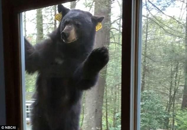Домохозяйка сняла репортаж о том, как в ее дом ломился медведь