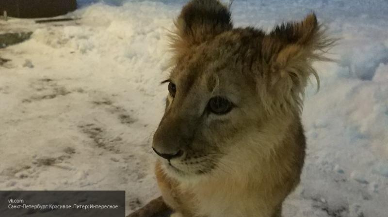 Появилось видео малышки-львицы из Петербурга, которую выкупили у хозяина