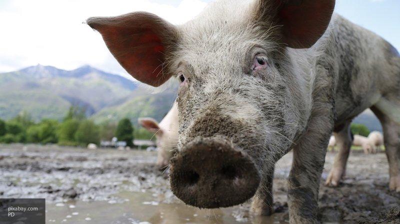 Голодные гигантские свиньи съели фермера в Польше
