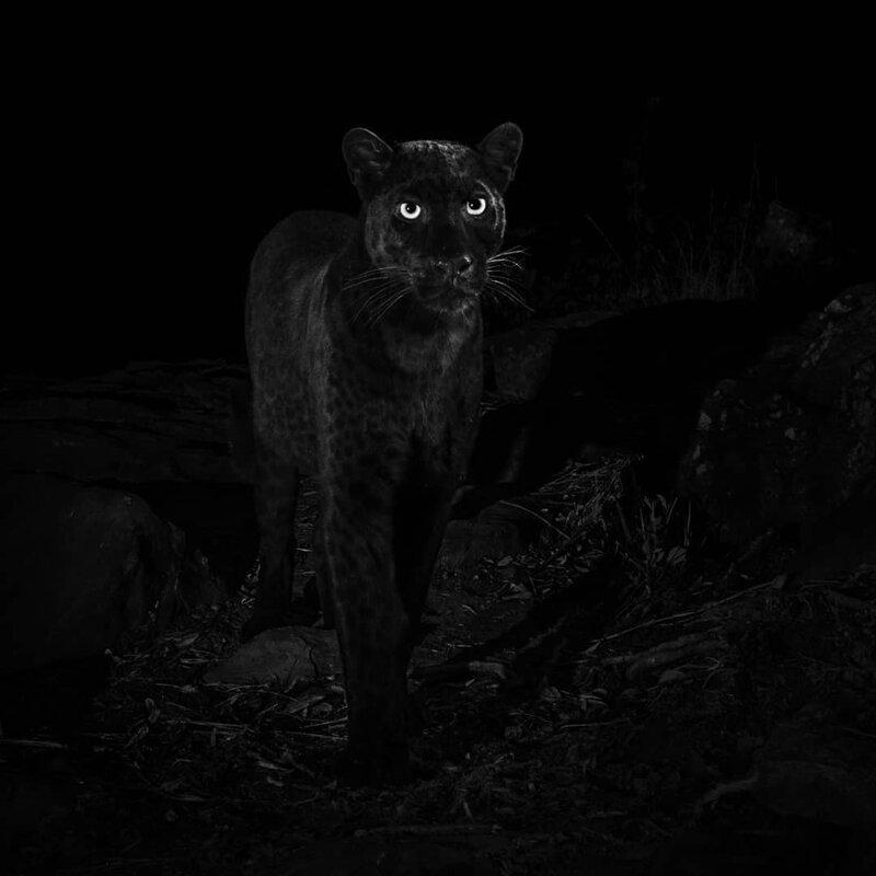 Очень редкого черного леопарда впервые за 100 лет сфотографировали в Африке