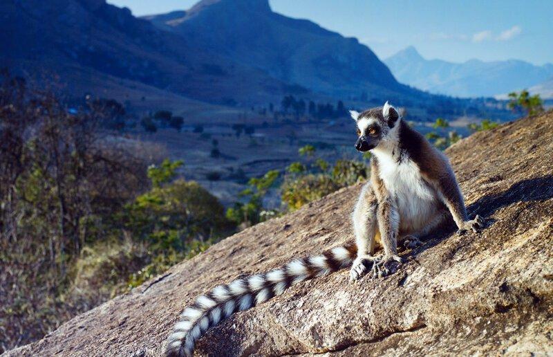Мадагаскарский лемур иммиграция, отдых, отпуск, пляж, путешествия, туризм, экспаты, эмиграция