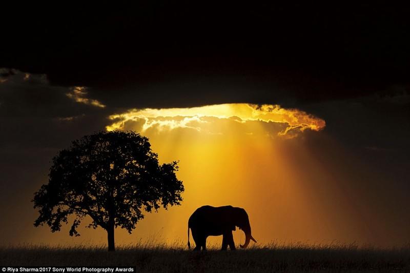 Слон на закате. Гуджарат, Индия искусство, конкурс, красота, фото