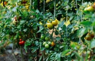 Формирование томатов по мере роста куста в теплице и открытом грунте