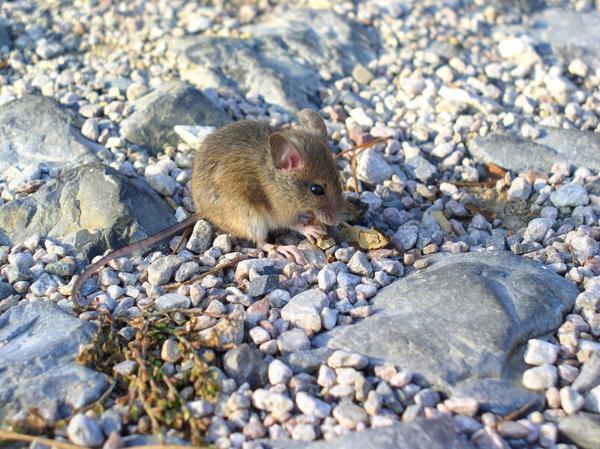 Медный купорос спасает растения от мышей
