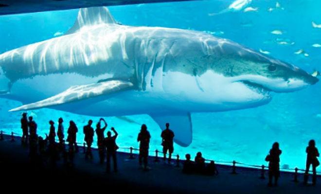 Сколько лет может жить акула