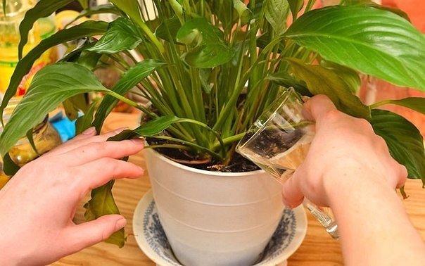 Средство, которое сотворит чудо даже с хилыми, болезненными растениями