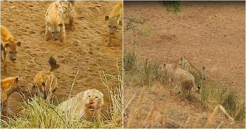 Львицы прогнали голодных гиен, атаковавших их сородича Парк Крюгера, видео, гиена, гиены, животные, лев, львы, юар