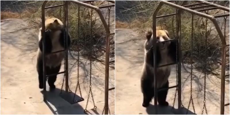 Медведица в Китае станцевала зажигательный танец и стала знаменитостью в сети  видео, животные, китай, медведица, танец, юмор