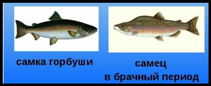 Как выбрать горбушу с «сюрпризом»: полезные советы как купить рыбу с красной икрой! советы