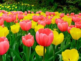 Цветущие тюльпаны круглый год