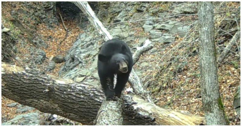 Медведь в национальном парке настроил фотоловушку, а затем гордо прошелся перед её объективом