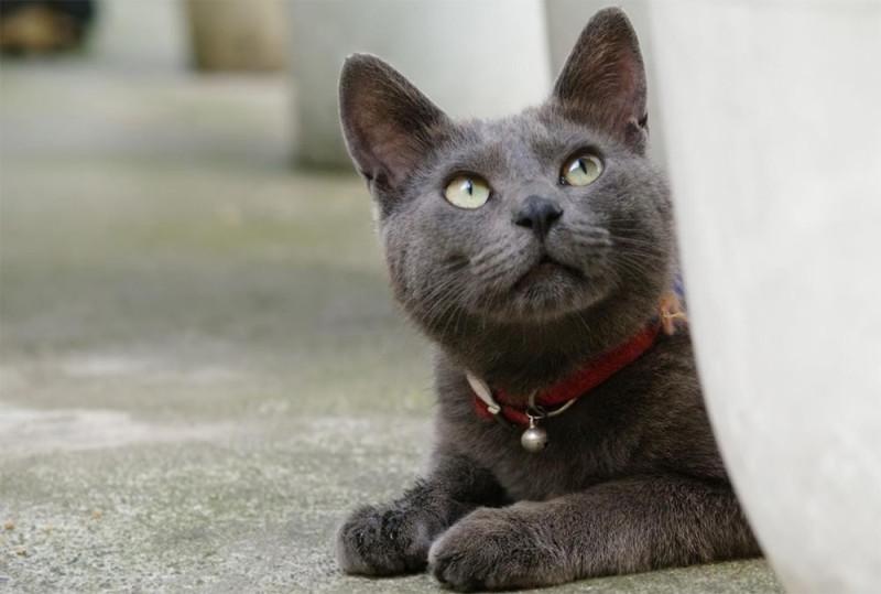 Корат — тайская кошка счастья