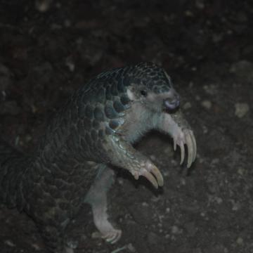Животные от А до Я. Китайский ящер, Короткоухий прыгунчик, Кольцехвостый мунго
