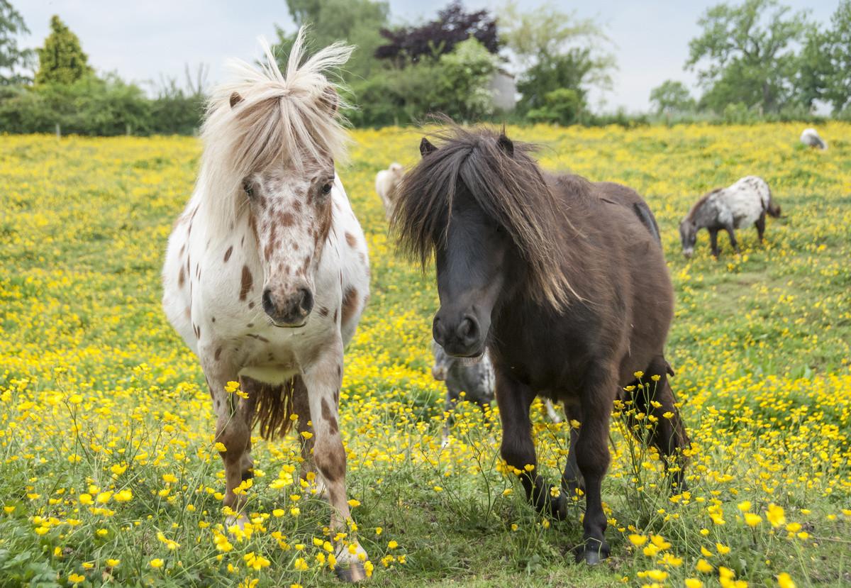 Самые интересные декоративные породы сельскохозяйственных животных дача,домашние животные,сад и огород