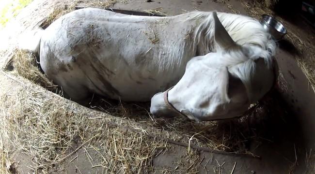 «Только не умирай!» Лошадь попала в ловушку, но хозяин не бросил её