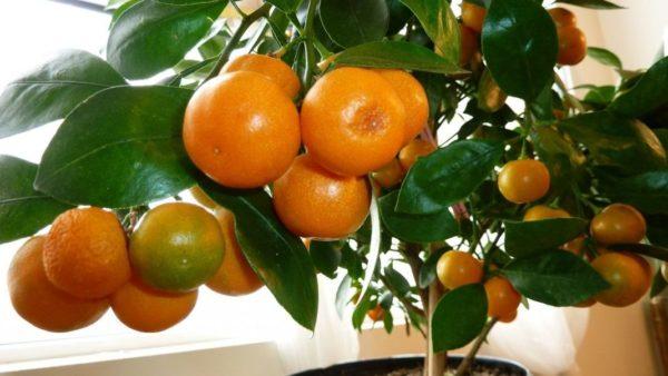 Мандарины на дереве