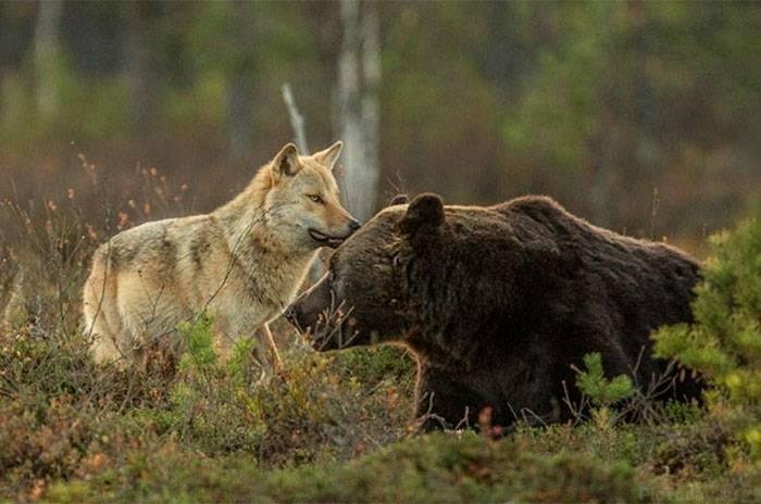 Дружба волчицы и медведя
