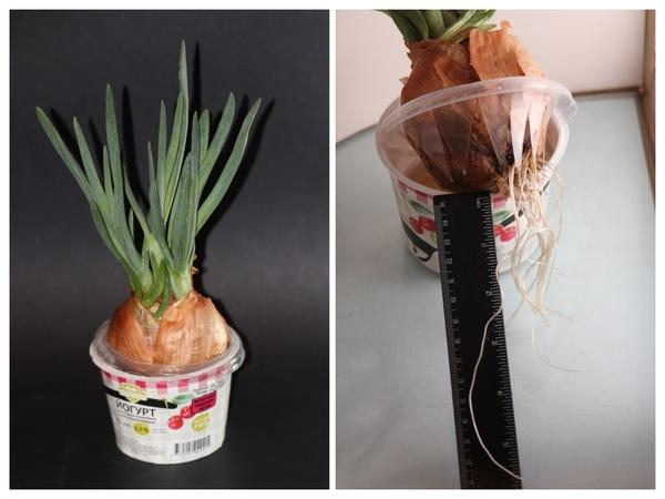 Как выращивают лук в домашних условиях?