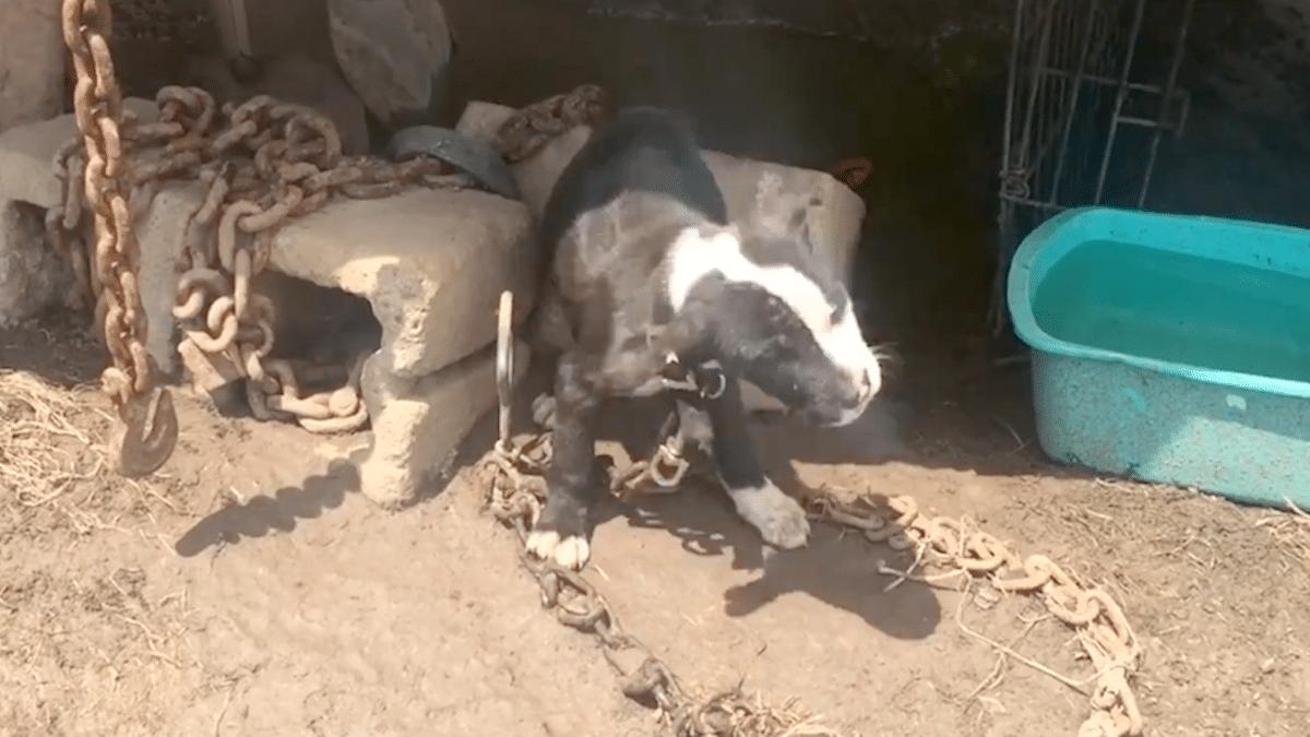 щенок на цепи
