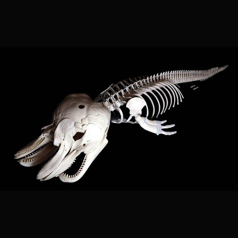 Мертворожденный алафин (вид дельфинов)