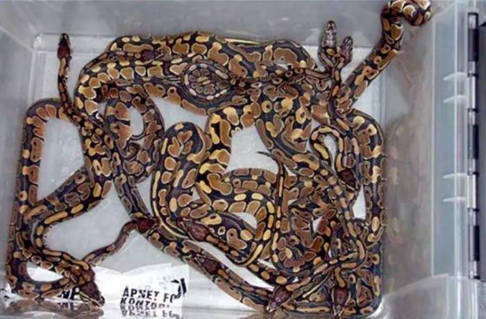 6. 247 экзотических змей авиаперевозки, багаж, досмотр, забавно, находки, служба безопасности, служба безопасности аэропорта