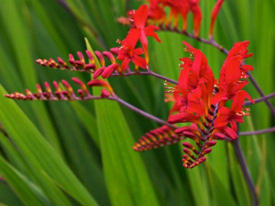 Монтбреция или японский гладиолус