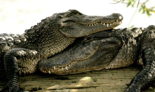 Факты о крокодилах, после ко…