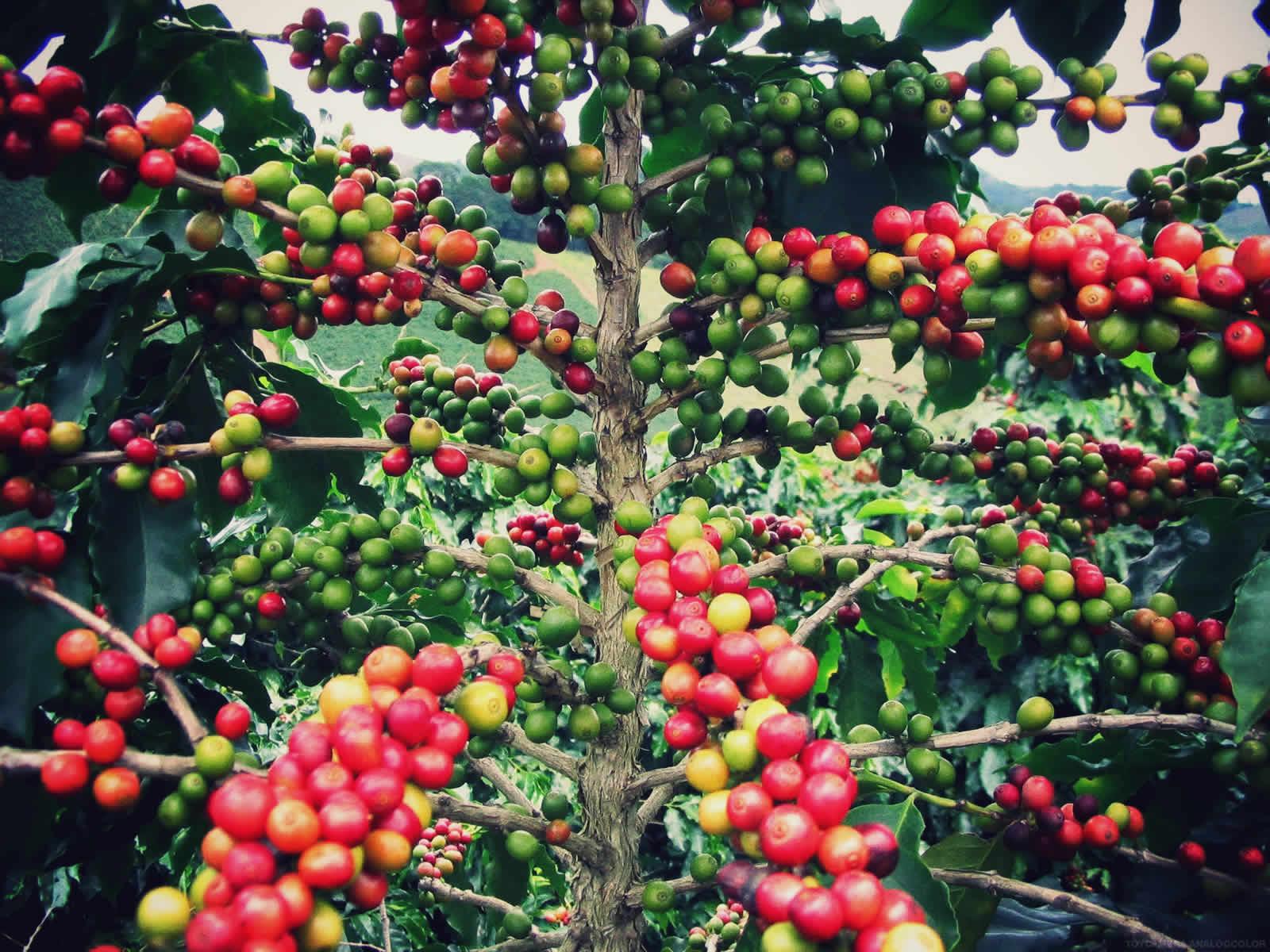 них как растет кофейное дерево фото отеле