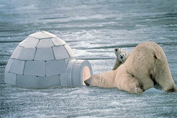 Защитой от поползновений белых медведей служит всего лишь кусок льда.   Фото: gazeta.ru.