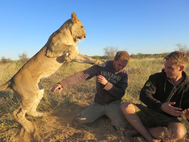 Фотограф поехал поближе познакомиться со львами. Своей фотосессией он хотел поддержать больших кошек