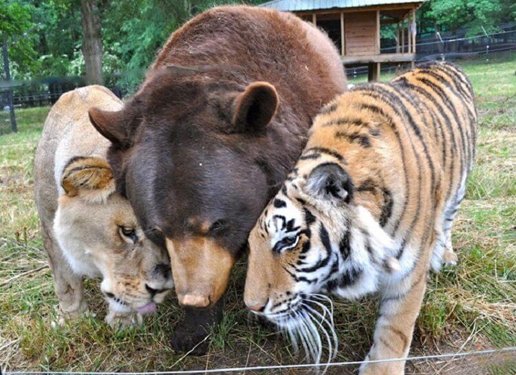 Медведь, лев и тигр — лучшие друзья, которые неразлучны вот уже 15 лет! дружба,животные,интересное,позитив