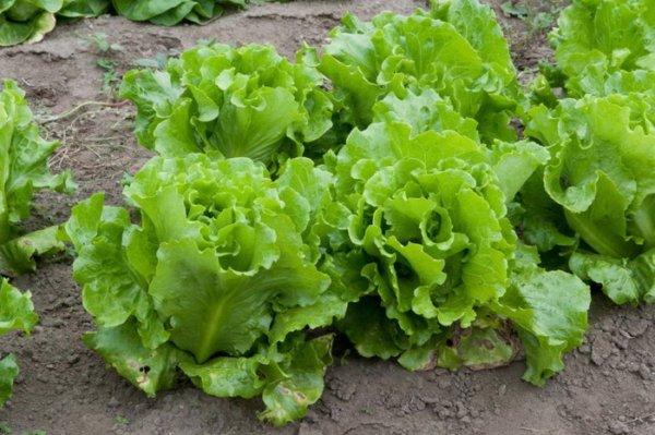 Выбор соседей по грядке. Какие овощи хорошо растут рядом друг с другом огород