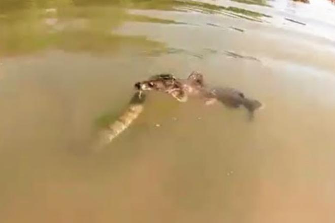 Питон решил схватить сома: схватка водоплавающих гигантов