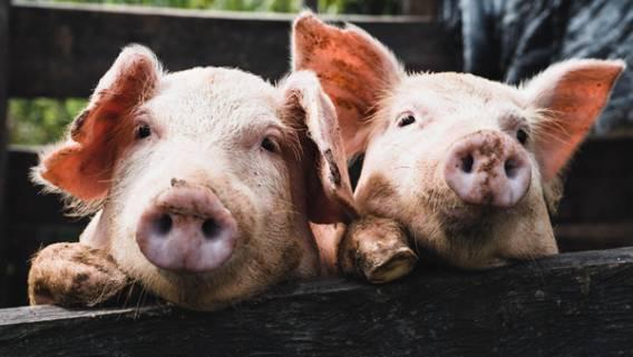 Huawei запустил проект по выращиванию свиней с использованием ИИ