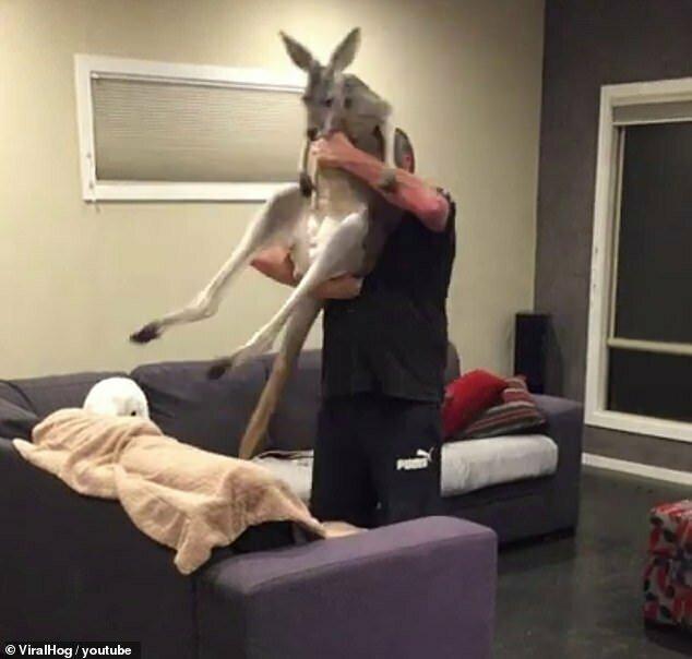 Каждый день кенгуру приходит в дом, чтобы полежать на диване австралия, видео с животными, дикая природа, забавные животные, кенгуру, кенгуру прикол, приручение животных, приют, умора
