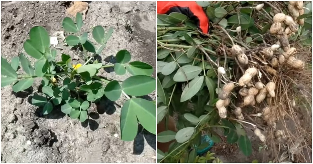 Вырастить арахис на даче лег…