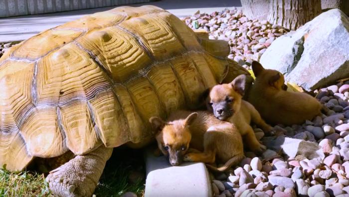 Брошенные и испуганные щенки нашли необычное существо, которому научились доверять