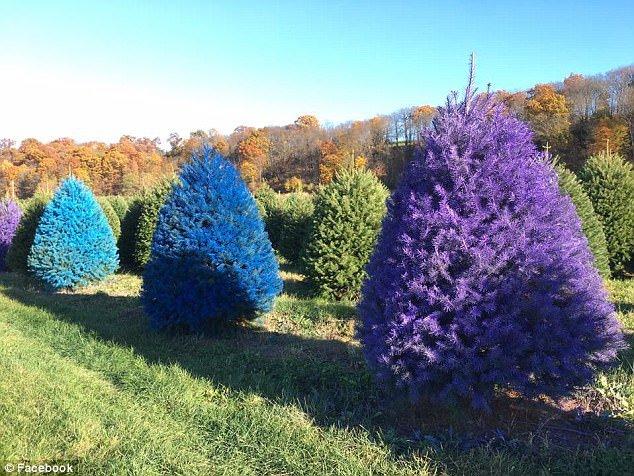 В Нью-Джерси выращивают ели различных цветов (7 фото)