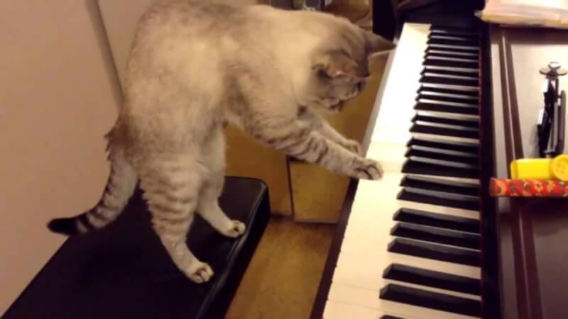 Звездная кошка Нора покорила интернет игрой на пианино супер