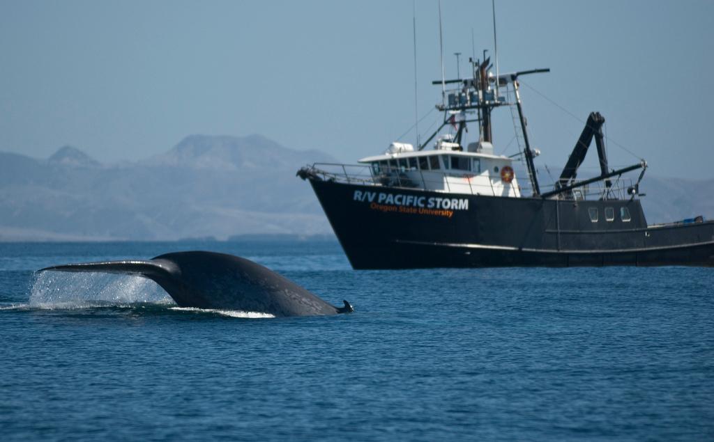 Синий кит – животное или рыба? (13 фото, видео)