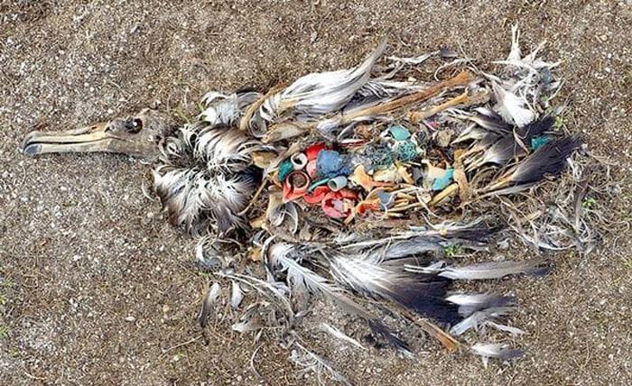 Пластик внутри умершей чайки.