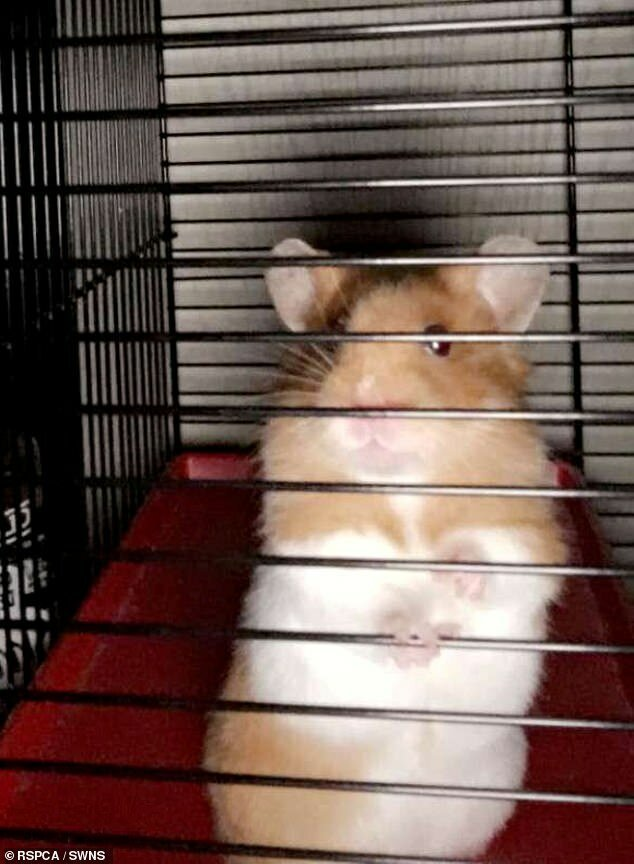 Джейми - хомяк, который находился в крошечной трубке в течение почти недели после побега из своей клетки в Бриджуотере в Сомерсете животные, застряли, смешно, спасение, чудесные истории