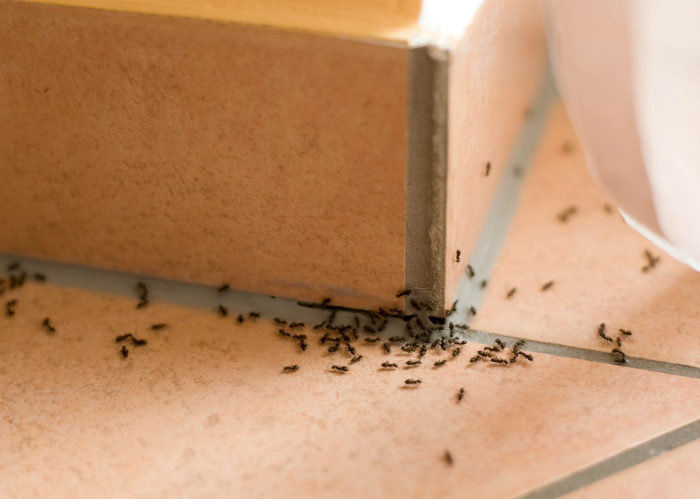 Выпроводить муравьев из дома. | Фото: Agronomu.